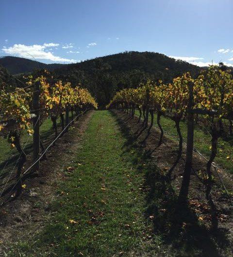 In the vineyard at Steels Creek Estate